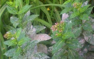 Василистник делавея — украшение сада: выращивание и уход