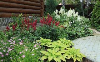 Астильба арендса — эффектное украшение сада. выращивание и уход