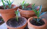 Олеандр обыкновенный — идеальное растение для сада: правила ухода