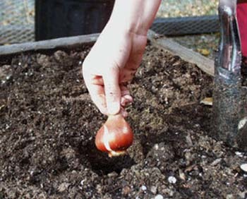 Тюльпаны: посадка и уход в открытом грунте - лучшие советы