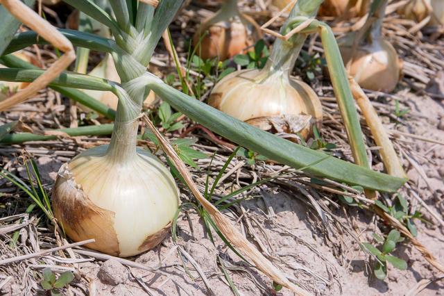 Как вырастить лук из семян за один сезон? Лучшие советы