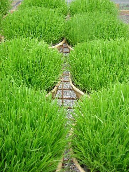Как выбрать газонную траву для дачи - обзоры, рекоменации, рейтинг