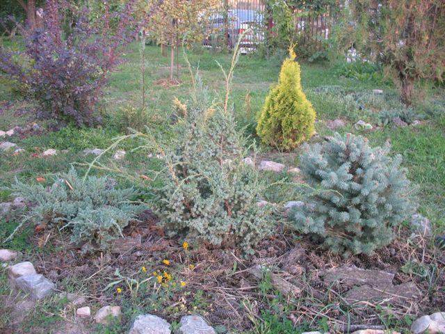 Можжевельник Блю Альпс - вечнозеленое украшение сада: уход