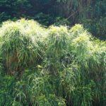 Кипарисовик горохоплодный Филифера Нана: выращивание и уход