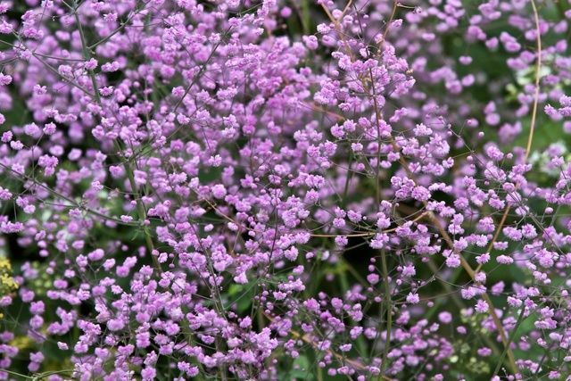 Василистник делавея - украшение сада: выращивание и уход