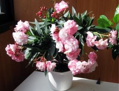Олеандр обыкновенный - идеальное растение для сада: правила ухода