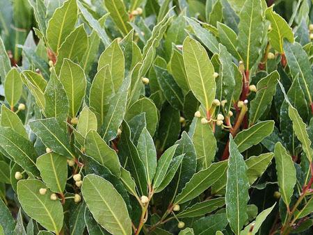 Лавровое дерево: выращиваем самостоятельно в домашних условиях