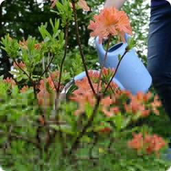 Рододендрон листопадный - украшение сада. Выращивание и уход