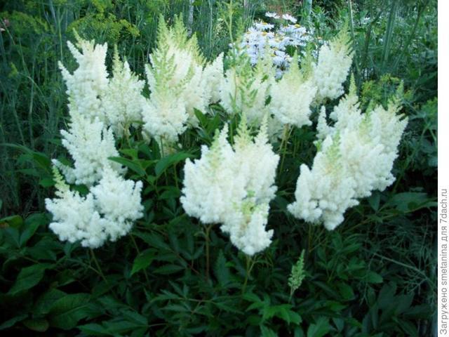 Астильба Арендса - эффектное украшение сада. Выращивание и уход