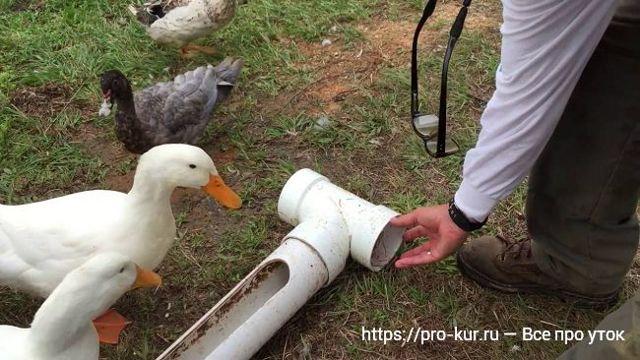Как построить птичник для уток своими руками - советы начинающим птицеводам
